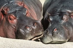 River HIPPOPOTAMUS -Two sleeping together