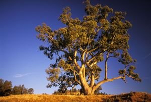 River Red Gum tree