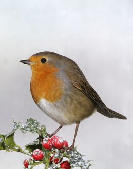 Robin - On Holly