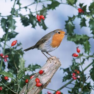 ROBIN - With Holly and Rosehips