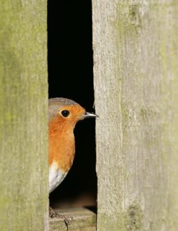 Robin - looking out of barn