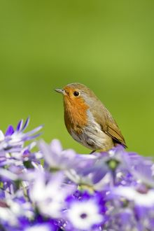 Robin - perched behind Senetti flowers