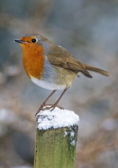 Robin - on post