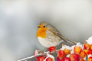 Robin - on snow covered crab apples