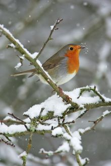 Robin - by snowfall in winter