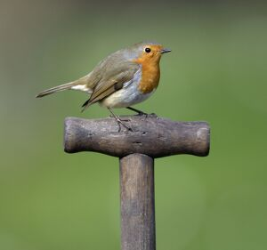 Robin - on spade handle in garden