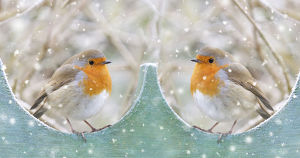 Robins, pair on garden fence in winter snow