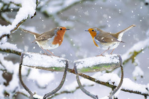 Robins - perched on spade handles in winter snow