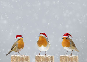 Robins on post in winter snow wearing Christmas hats