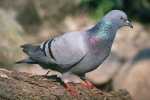 Rock Dove / Rock Pigeon