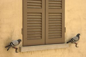 Rock Pigeon / Rock Dove - perching at a window facade