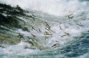 Rockhopper PENGUINS - group jumping through sea and landing on Falkland Islands