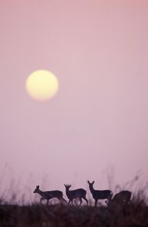 ROE DEER - x four at sunrise