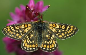 ROG-11395 Marsh FRITILLARY Butterfly - On early Marsh orchid