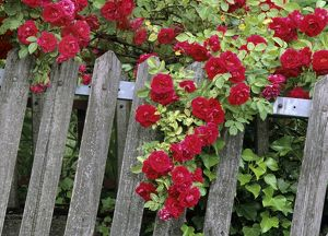 Rose garden - picket fence overgrown by a bush of red roses