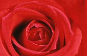 ROSE - heart of red rose