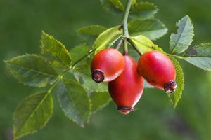 Rose hip or Rose Haw