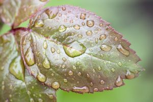 Rose Leaf - covered in rain drops
