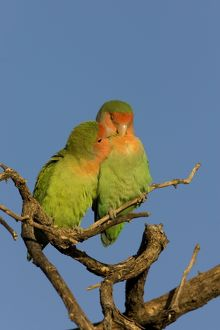 Rosy faced Lovebird - pair preening each other on a favourite perch.