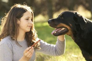 Rotteweiler - being fed treat by girl