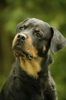 Rottweiler DOG - with head tilted
