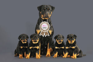 Rottweiler Dog wearing No 1 Dad sign, sat with four