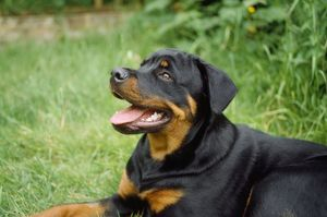 ROTTWEILER DOG - Young