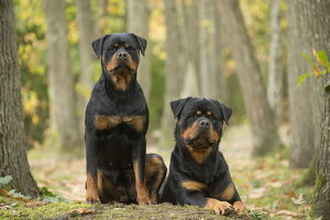Two Rottweiler dogs outside