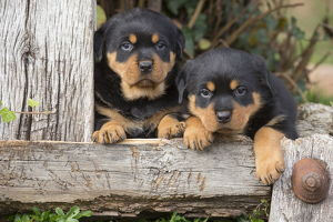Rottweiler puppies dogs outside
