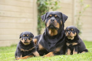 Rottweiler with puppies dogs outside