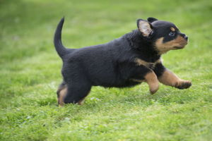 Rottweiler puppy dog outside