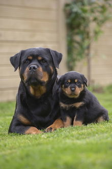 Rottweiler with puppy dog outside