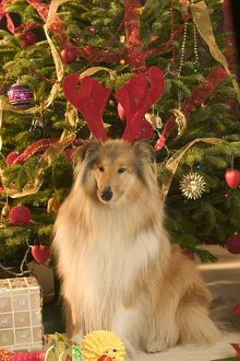 Rough Collie Dog - at Christmas wearing toy reindeer antlers