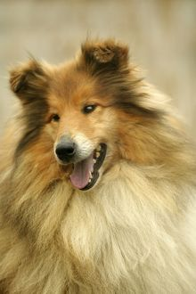 Rough Collie Dog - close-up