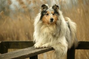 Rough Collie Dog - lying down