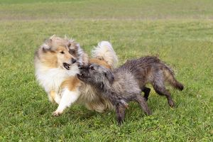 Rough Collie Dog - with Mongrel Dog