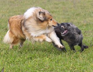 Rough Collie Dog - & Mongrel Dog - fighting