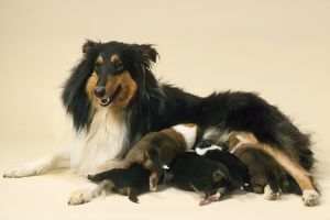 Rough Collie Dog - mother with suckling litter