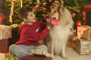 Rough Collie Dog with toy - at Christmas with boy