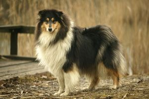 Rough Collie Dog - side view