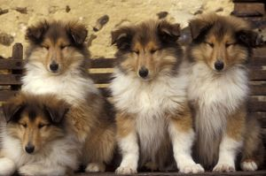 Rough Collie Dogs - four puppies