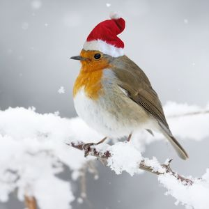 European Robin in snow - wearing Christmas hat