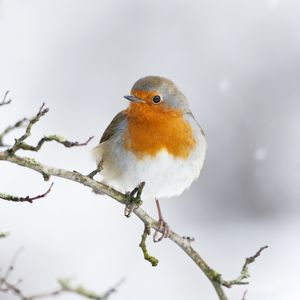 ROY-476-C European Robin in snow - Close-up showing red breast feathers and snow falling