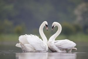 ROY-520 Mute Swans - Pair displaying courtship behaviour