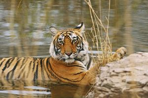 Royal Bengal / Indian Tiger in the forest pond