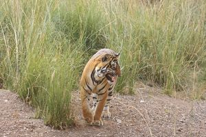 Royal Bengal Tiger catching scent