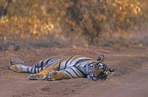 Royal Bengal Tiger - Lying down on dust track. relaxed but watchful,