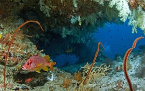 Saber Squirrelfish - in a soft coral cave