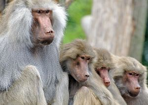 Sacred Baboon - male with his harem