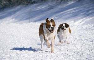 Saint Bernard Dog - running in snow